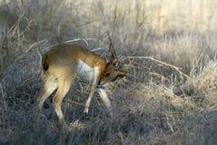 Steenbok, Raphicerus campestris ,Gorongosa National Park, Mozambique. One Steenbok, Raphicerus campestris ,Gorongosa National Park, Mozambique Royalty Free Stock Photo