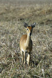 Steenbok, Raphicerus campestris ,Gorongosa National Park, Mozambique. One Steenbok, Raphicerus campestris ,Gorongosa National Park, Mozambique Stock Images