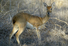Steenbok, Raphicerus campestris, Gorongosa park narodowy, Mozambik Obrazy Stock
