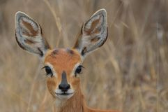 Steenbok {Raphicerus campestris} Royalty Free Stock Photography