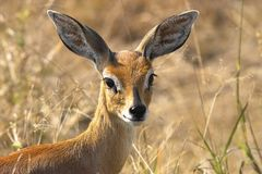 Steenbok (Raphicerus campestris) Stock Image