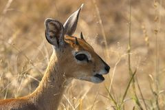 Steenbok (Raphicerus campestris) Royalty Free Stock Image
