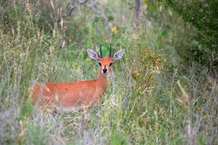 Steenbok (Raphicerus campestris) Stock Photography