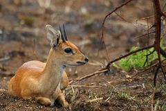 Steenbok (Raphicerus campestris) Royalty Free Stock Photos