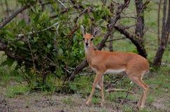 Steenbok (Raphicerus campestris). Male Steenbok (Raphicerus campestris) in the morning light seen in Kruger National Park, South Africa Stock Photo