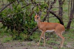 Steenbok (Raphicerus campestris). Male Steenbok (Raphicerus campestris) in the morning light seen in Kruger National Park, South Africa Stock Photography