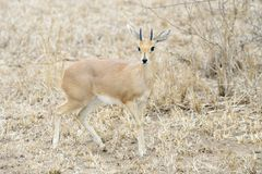 Steenbok male between shrubs. Steenbok Raphicerus campestris, male stands in scrubland, Kruger National Park, South Africa1 Royalty Free Stock Image