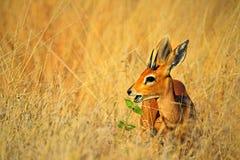 Steenbok, Raphicerus-campestris, met groene bladeren in de snuit, de habitat van de grasaard, het Nationale Park van Hwange, Zimb stock afbeeldingen