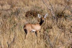Steenbok, Raphicerus campestris, the Namibian bush Stock Photos