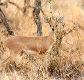 The steenbok Raphicerus campestris. In savana bush Stock Images