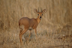 Steenbok, Raphicerus campestris Stock Image