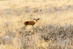 Steenbok Stock Images