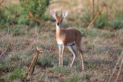 Steenbok selvaggio Fotografia Stock Libera da Diritti