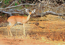 An  steenbok standing in Africa Royalty Free Stock Images