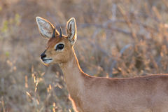 Steenbok standing in the late afternoon sun. With rim lighting Royalty Free Stock Photos