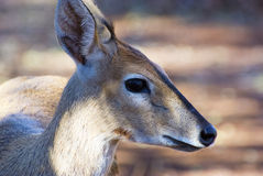Steenbok standing still in forest Royalty Free Stock Photo