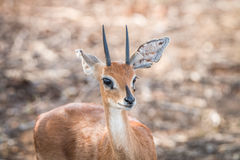 Steenbok starring at the camera. Royalty Free Stock Images