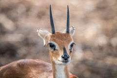 Steenbok starring in the Kruger National Park. Stock Photo