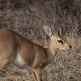 Steenbok. Steenbock (Raphicerus campestris) in Timbavati Nature Reserve - South Africa Stock Photography