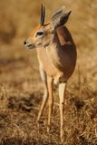 Steenbok. S mate for life. Sadly, we could not see this one's mate Stock Photos