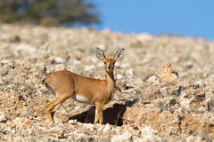 Steenbok sul pendio di collina roccioso Immagini Stock Libere da Diritti