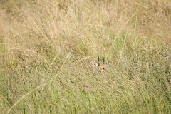 Steenbok tímido en hierba alta imagen de archivo