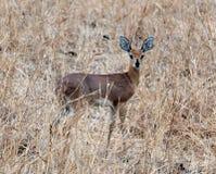 Steenbok, Tanzania, Africa orientale Tom Wurl Immagini Stock Libere da Diritti