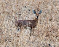 Steenbok Tanzania, East Africa Tom Wurl Royaltyfria Bilder