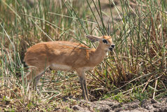 Steenbok. Tiny wild Steenbok with in African savannah Stock Photo