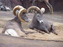 Steenbok twee Stock Afbeelding