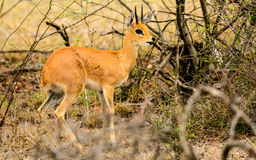 Steenbok in the undergrowth Royalty Free Stock Images