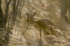 Steenbok w Kruger parku narodowym, Południowa Afryka zdjęcia royalty free