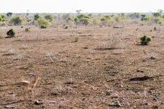 Steenbok w Otwartym krajobrazie Obraz Royalty Free