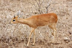 Steenbok walking Royalty Free Stock Photo