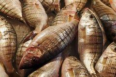 Steenbras för sand för fiskmarknad (den Lithognathus mormyrusen) royaltyfri fotografi