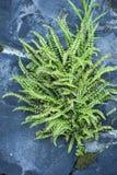 Steenbreekvaren Maidenhair Spleenwort, Aspleniumtrichomanes arkivbilder