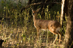 Steenbuck - Raphicerus campestris. An alert male Steenbuck in forest Royalty Free Stock Photography