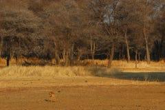 Steenbuck2. Steenbok drinking water waterhole Stock Photo
