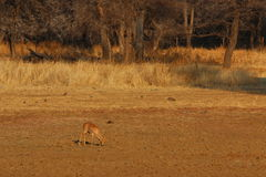 Steenbuck. Steenbok waterhole game farm Namibia Royalty Free Stock Photos