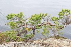 Steenheuvel met de eenzame pijnboom Stock Afbeelding