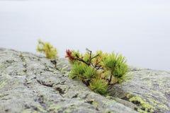 Steenheuvel met de eenzame pijnboom Stock Fotografie