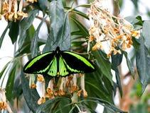 STEENHOPENbirdwing VLINDER op een blad Royalty-vrije Stock Afbeeldingen