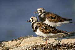 Steenloper, Ruddy Turnstone, Arenaria interpres stockfotos