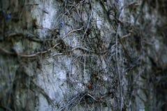 Steenmuur met druivenlianas die wordt behandeld Stock Afbeelding