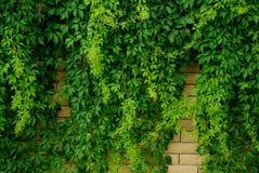 Steenmuur met groene bladerenklimplant die wordt overwoekerd Royalty-vrije Stock Afbeeldingen