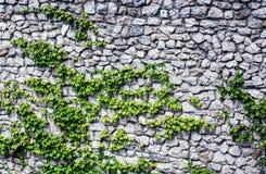 Steenmuur met groene installaties Royalty-vrije Stock Foto's
