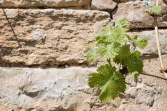 Steenmuur met groene wijnstokbladeren Stock Foto's