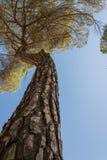 Steenpijnboom stock foto's