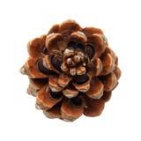 Steenpijnboom, Pinus pinea stock afbeelding