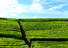 Steentreden aan hemel van groen theegebied Stock Fotografie